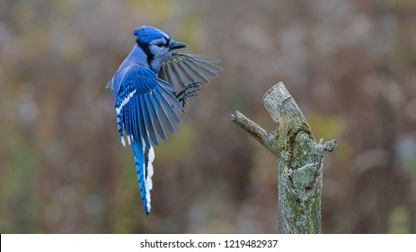 A Blue Jay Approaching a Tree Stump