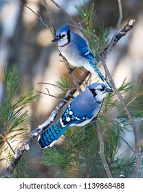 Blue Jay bird enjoying the winter season.