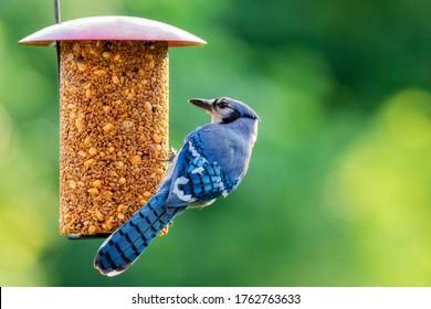 Blue Jay by a Bird Feeder