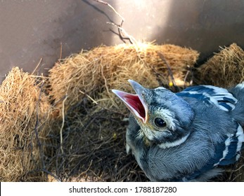 A blue jay chick, seeing its parents, opens its beak wide awaiting feeding