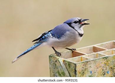 Blue Jay (corvid cyanocitta) on a gardening tool box with a peanut