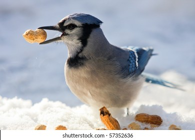 A blue jay - Cyanocitta cristata - is having a peanuts feast on a sunny but cold winter day. Quebec, Canada.