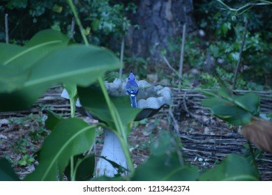 Blue Jay, Cyanocitta cristata, looking up while perched on a concrete birdbath with canna lily leaves