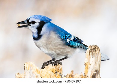 Blue Jay (Cyanocitta cristata) on a dead stump with a seed in its beak in winter.