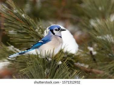 Blue Jay (Cyanocitta cristata) perched on a snow covered branch in Algonquin Park, Canada