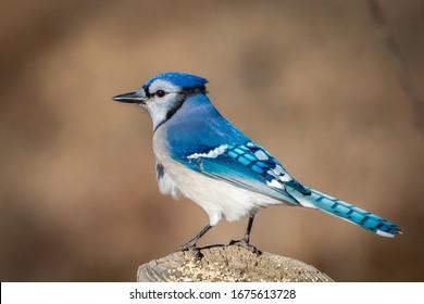 Blue Jay (Cyanocitta cristata) perched on a pole