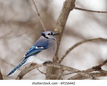 Blue Jay, Cyanocitta cristata, perched on a tree branch