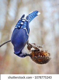 Blue Jay eating seeds of sun flower