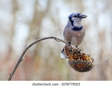 Blue jay eating son flower seeds