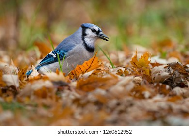 Blue Jay foraging among the autumn leaves fallen on the ground. Lynde Shores Conservation Area, Whitby, Ontario, Canada.