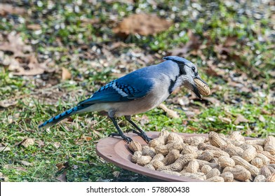 A blue jay helping himself to some peanuts