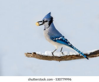 Blue Jay Holding Peanut in its Beak Portrait in Winter