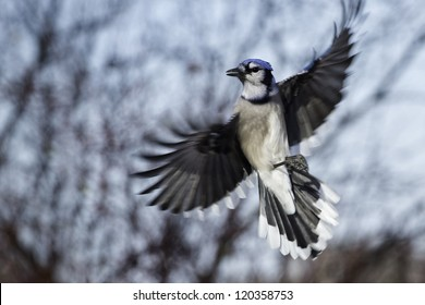 Blue Jay hovering in mid air.