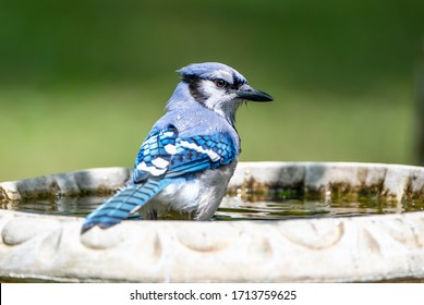 Blue Jay Looking Cautiously Over Its Back as It Enters a Bird Bath in Louisiana Spring