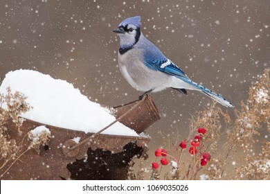 Blue jay in Minnesota Agnieszka Bacal.