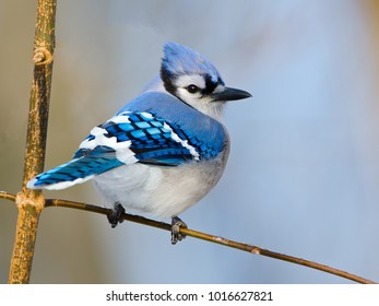 Blue Jay on Branch