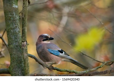 Blue jay on a branch in the forest