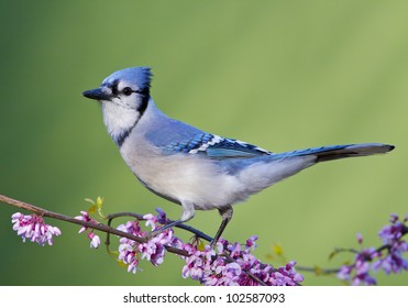 Blue Jay on Eastern Redbud, side view
