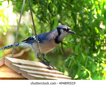Blue Jay on the feeder