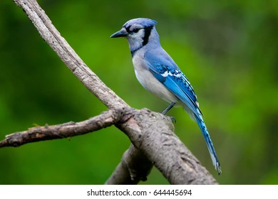 Blue Jay on a Natural Perch