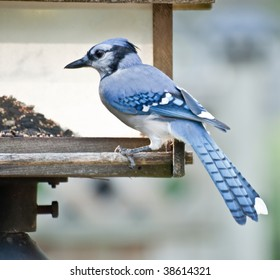 Blue Jay on perch