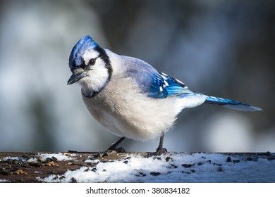 Blue jay on snowy branch on sunny winter day