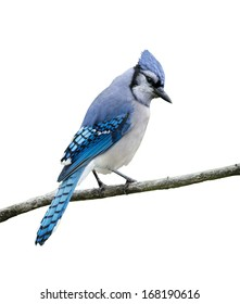 Blue Jay on White Background, Isolated