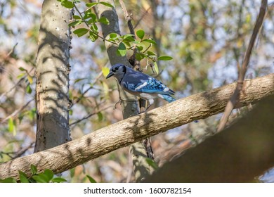 The blue jay is a pas serine bird in the family, native to North America.