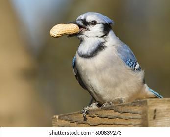 Blue Jay With Peanut