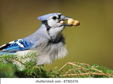 Blue jay with a peanut in its craw and another peanut in its beak
