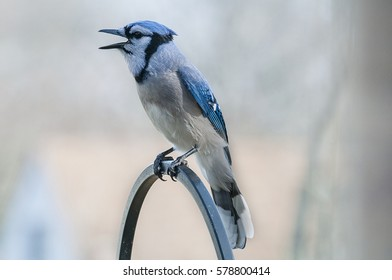 Blue Jay perched calling out