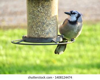 A Blue Jay perched on a bird feeder, enjoying some birdseed,