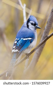 A blue jay perched on a branch of a tree in between bushes