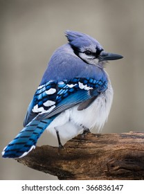 A blue jay perched on a cold winter day.