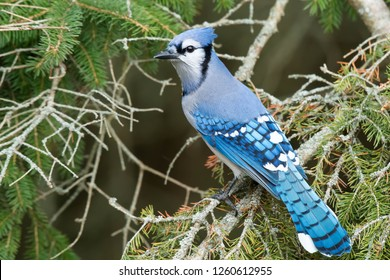 Blue Jay perched on an evergreen branch. Lynde Shores Conservation Area, Whitby, Ontario, Canada.