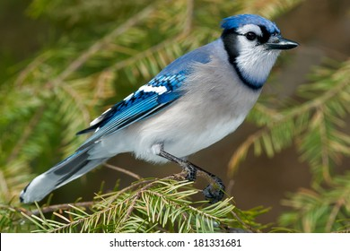 Blue Jay perched on an evergreen branch.