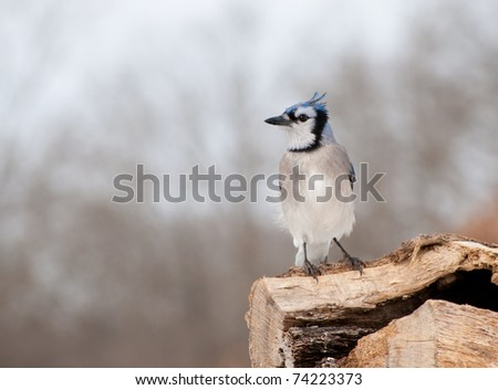 blue-jay-perched-on-log-450w-74223373.jp
