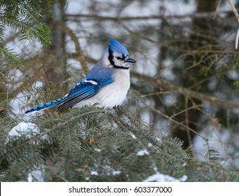 Blue Jay Perched on Pine Tree in Winter