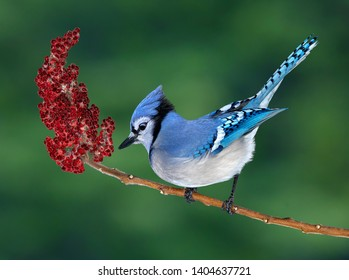 A blue jay is perched on a sumac branch.