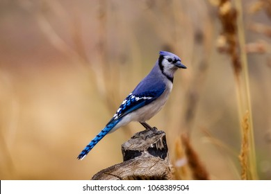 Blue Jay perched on tree stump