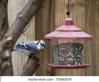 Blue jay perched on a tree branch looking at a seed-filled red and clear plastic bird feeder against a brown wooden fence.