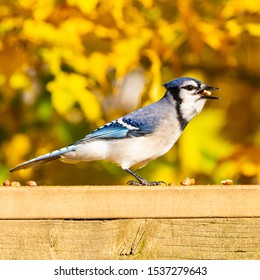 Blue jay perched on a weathered wooden deck railing against a blurred fall foliage background eating peanuts.