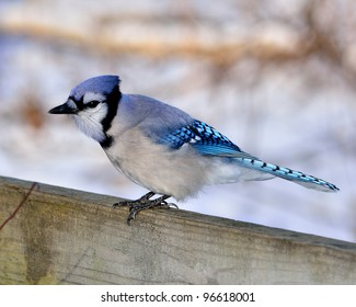Blue Jay perched on a wooden fence.