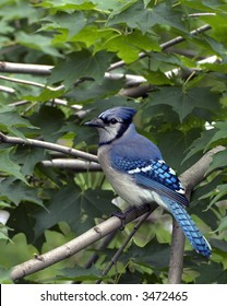 Blue jay perched in a tree.