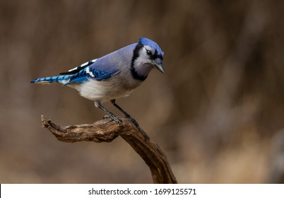 A Blue Jay perches for a second on a beautiful spring day in the Ottawa Valley Ontario Canada