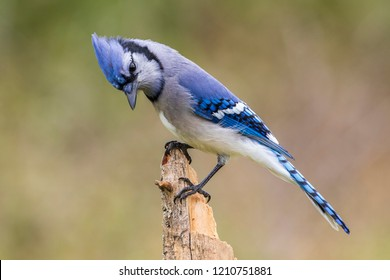 Blue jay perching on a dead tree, Ottawa, Canada
