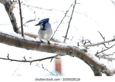 Blue jay resting on snowy branch