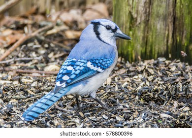 Blue Jay rummaging through the seeds on the ground