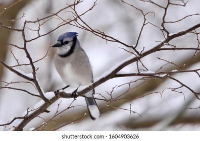 Blue jay sitting on a tree branch in winter.