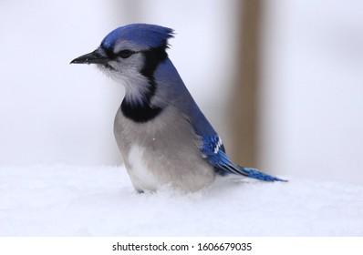 Blue jay sitting in snow.